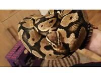 Female pastel enchi ball python