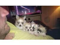 chihuahua puppies for sale £500