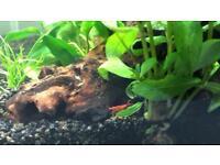 Crystal Red Cherry Shrimp