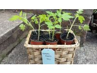 Tomato Plants 50p each (Avail. from 16 June)