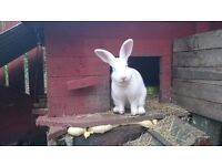 2 Rabbits for free to good and loving home