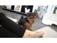 9 week old Welsh terroir pup
