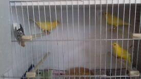 canaries 3 cocks