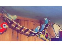 4 budgies & large cage
