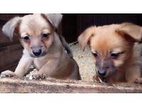 Rare Jackeranian Pups - Pomeranian x Jack Russell