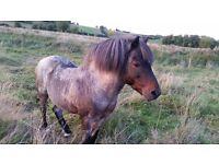 dartmoor pony free to good home