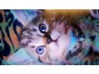 2 cute tabby kittens
