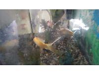2 Pond Goldfish aprox. 4-6 inch each