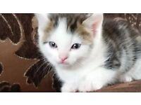 Stunning Ragdoll Cross Kittens For Sale