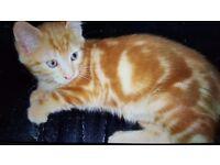 Ginger kitten for free