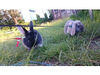 Two lovely paired rabbits (silver fox & dwarf lop) with lots of extras