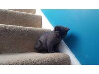 British Shorthair Blue Boy Kitten