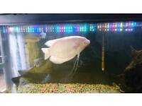 Giant gourami for sale
