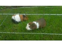 2 male guinea pigs with hutch and outdoor run