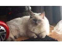 Blue point ragdoll cat