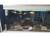 3ft tropical fish tank with malawi chiclids