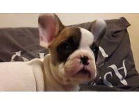 kc reg french bulldog puppies ready now