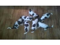 7 Very Special Springer Spaniel Puppies