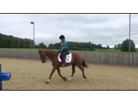 Ex high goal polo pony for permanent loan
