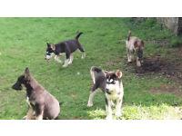Alaskan malamute X Siberian Husky pups
