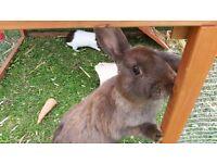Brown cross lop rabbit had mixi jab 19 weeks