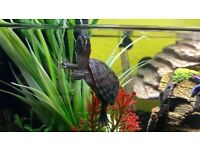 X2 Common musk turtles with or without tank