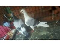 pigeon for sale
