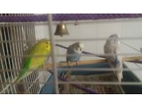 2 x Budgies and Cage