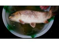 Three beautiful carp fish to give away- FREE