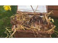 Mini Rex Baby Bunnies. Ready 26th April