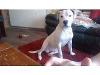 Bautiful 9month old bulldog x staff £350ono