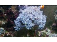 Xenia pulsing coral reef marine fish