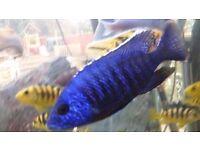 40 blue regal cichlids fry