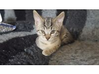Beautiful silver snow leopard bengal kitten last one remaining readvertised due to timewaster