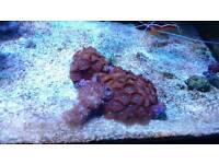 Marine fish tank zoa colony and kenya tree frags