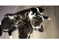 5 lovely kittens for sale 8 weeks