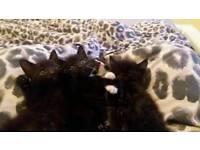 Cute kittens 8 weeks