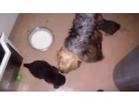 Yorkshire terrier cross collie pups for sale