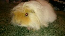 SOLD stc Beautiful Long Hair Pet Guinea Pig Boar