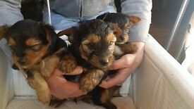 Yorkshire Terrier teddy bear puppies - 2 boys, 1 girl - stunning pups - Rochdale area