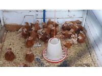 isa brown hen chicks for sale