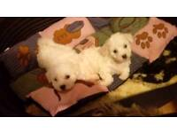 Bishon frise puppies for sale
