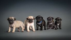 Beautiful girl pugs