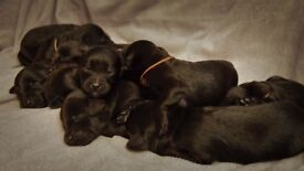 Beautiful black F1 labradoodle puppies seeking loving forever homes
