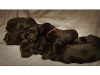 Beautiful black F1 labradoodle puppies seeking loving forever homes