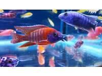 Malawi Cichlids tropical fish NOT marine