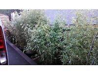 GOLDEN BAMBOO X4 IN LARGE POTS