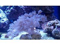Pulsing Xenia soft coral colony