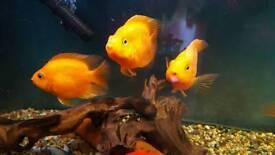 2x orange parrot fish 3/4 inch