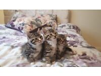 Kittens from Bengal X cat - ALL RESERVED T